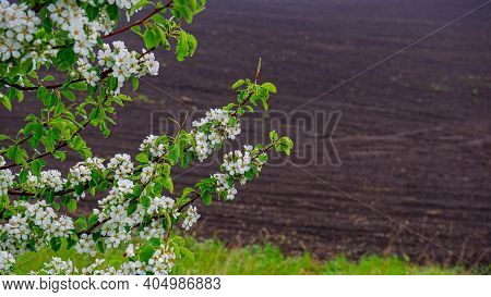 Branches Of A Wild Pear Tree With Blooming Flowers On A Background Of Plowed Land In The Field. Spri