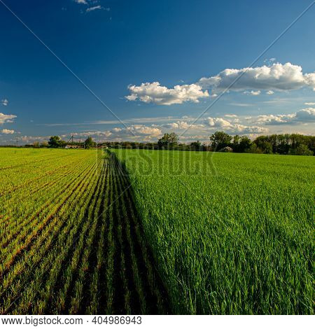 Wheat Field And Blue Sky With Clouds In The Evening, Rural Landscape. Spring Season.