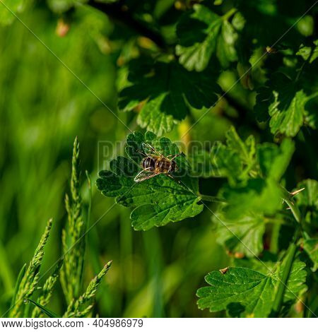 Bee Sits On A Currant Leaf On A Sunny Day. Spring Season.