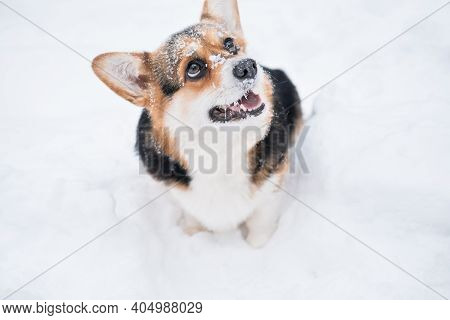 Smiling Three Colours Corgi Pembroke Dog In Snow. Winter. Looking Up
