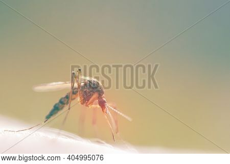 A Mosquito On Human Skin Close-up With A Copy Space.