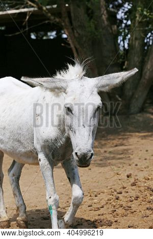 Cute Donkey Pose Outdoors In Rural Farmyard.  Portrait Photo Of A Donkey Outdoors Rural Scene Agains