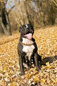 American Staffordshire Terrier Against Yellow Autumn Foliage poster