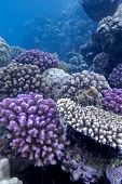 coral reef with hard corals on the bottom of red sea - underwater photo poster