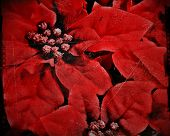 vintage grunge poinsettia christmas background or texture poster