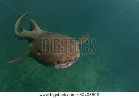 Nurse shark swimming towards the surface