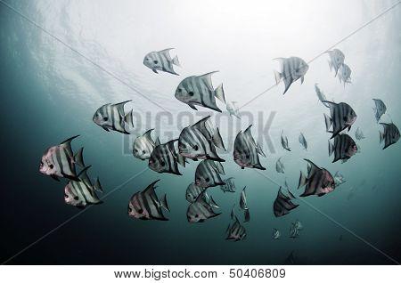 Atlantic Spadefish School