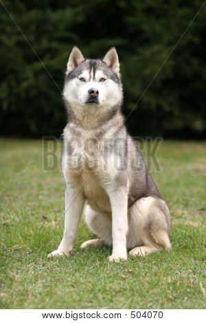 Husky Sitting
