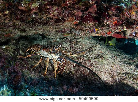 Caribbean spiny lobster under rock in the Bahamas
