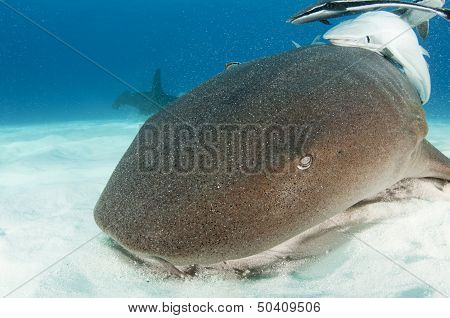 Nurse shark with remora fish and a hammerhead in background