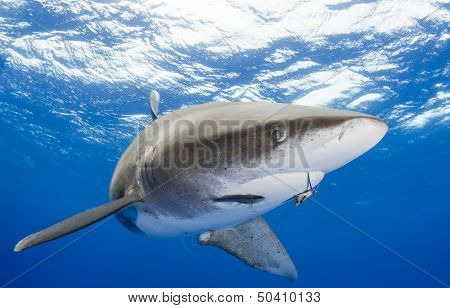 Shark with hook in her mouth