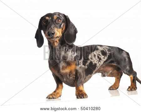 Tiger Dachshund On A White Background