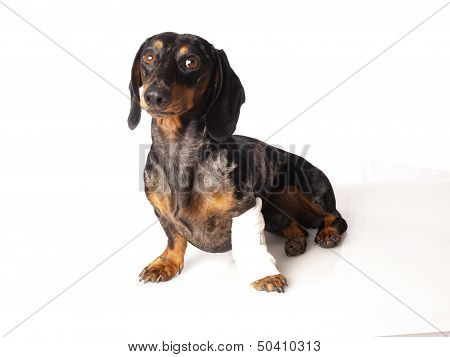 tiger dachshund with a bandage on his leg on a white background poster