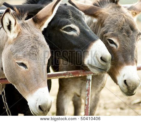 Three young donkey tied, on the farm