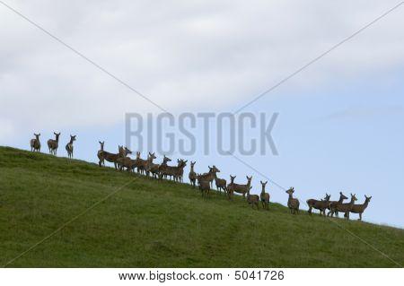 A Herd Of Hind (female Red Deer)