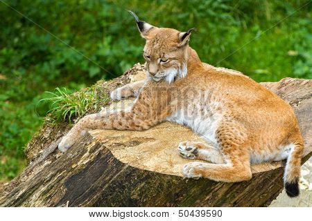 Adult Lynx Resting On A Wooden Stump