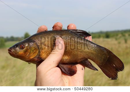 Big Tench Lying On Human Hand
