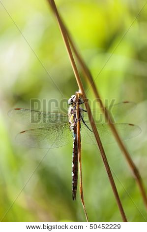 Autumn Hawker - female