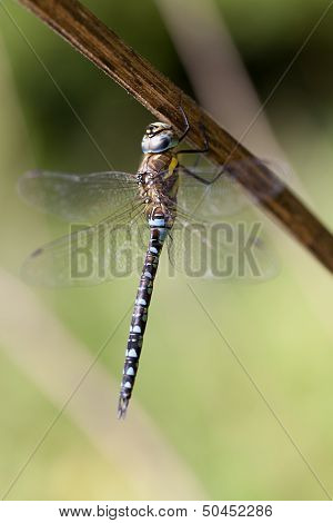 Autumn Hawker - male