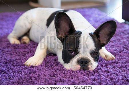French bulldog sleeping on the carpet poster