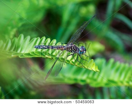 Macro Closeup of a Yellow and Black Dragonfly with Big Blue Eyes.  Blue Dasher