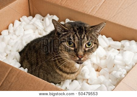 Annoyed cat in cardboard box