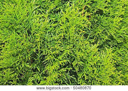 Thuja Branches