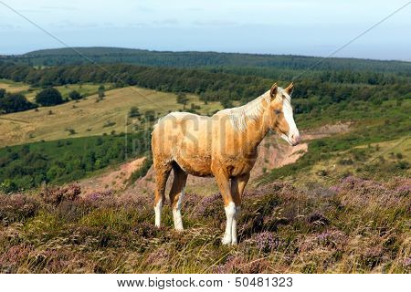 Wild pony Quantock Hills Somerset England with purple heather poster