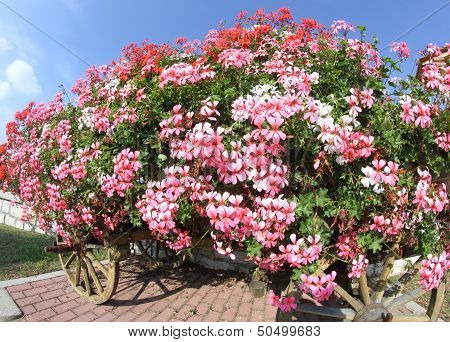 antique wooden wagon with many blooming Geraniums in summer in the mountains poster