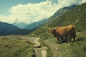 Highland cow in alpine landscape poster
