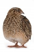 Japanese quail on a white background. A bird that lays the Golden eggs. poster