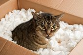 Annoyed cat in cardboard box of packing peanuts poster
