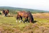 Wild ponies Quantock Hills Somerset England with purple heather poster