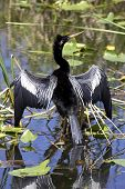 anhinga bird everglades state national park florida usa poster