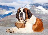 St. Bernard Dog with keg ready for rescue operation poster