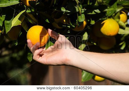 Hand Picking An Orange.