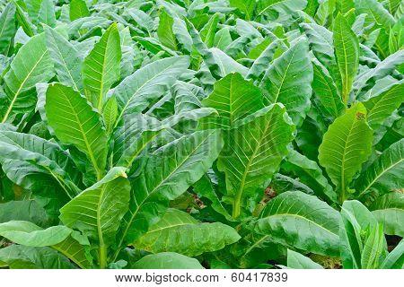Green Tobacco Field In Thailand In Summer