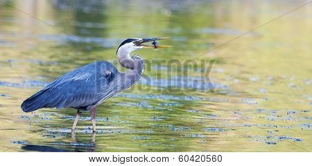 Great Blue Heron Catches Small Bluegill