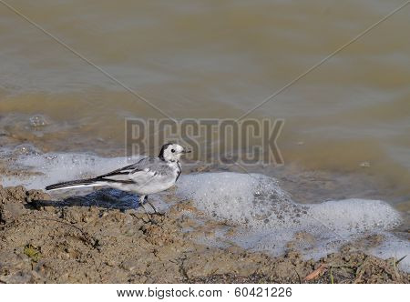 White Wagtail Bird (motacilla Alba Dukhunensis)