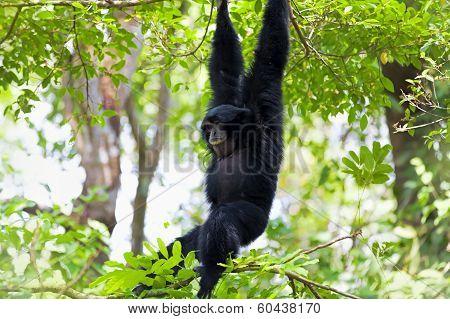 Siamang Gibbon