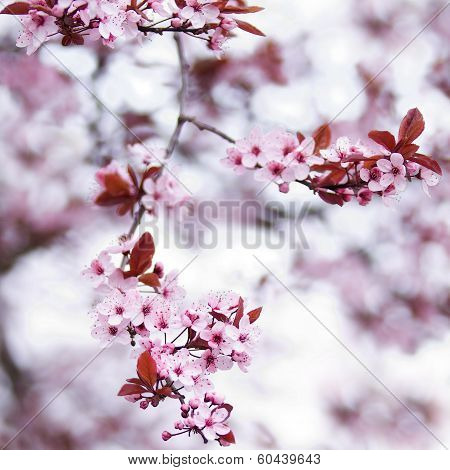 Pink Cherry Blossom Flowers In Early Spring