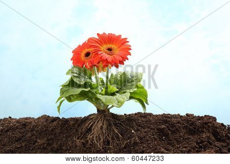 Gerbera flower in earth with visible root