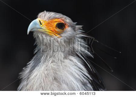 Secretarybird Closeup