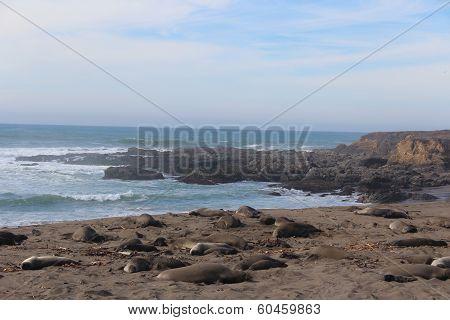 Elephant Seals on California Coast