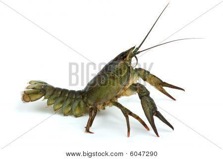 Crawfish In Defensive Position