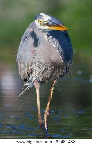 Great Blue Heron Fishing In Soft Focus