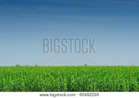 Corn field on bright summe day