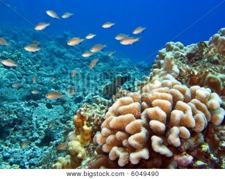 Hawaiian Reef With Coral And Fish