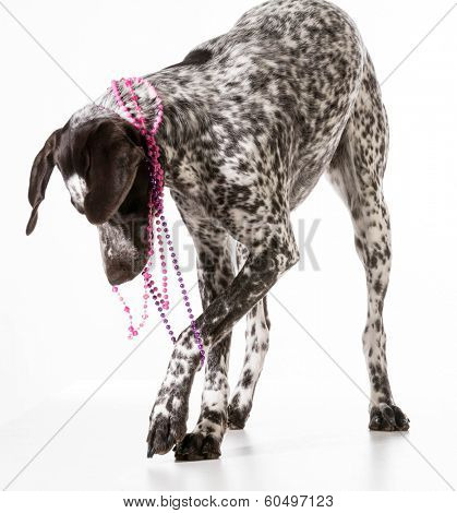 bad dog - naughty german shorthaired pointer tugging on beads isolated on white background poster