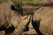 Two White Rhinos standing close together in the early evening sun poster